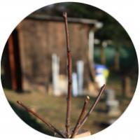 Citlivý řez ovocných stromů
