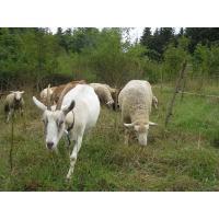 Další kozy v Praze?